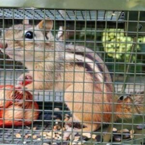 how to get rid of squirrel pests